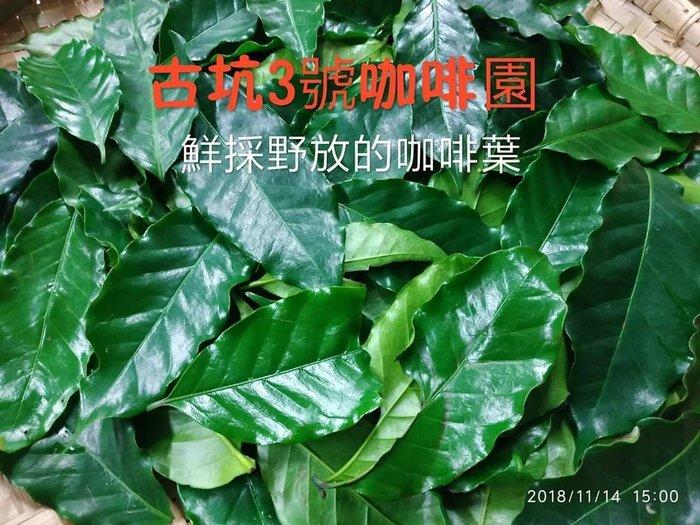 自然農法的  綠原酸咖啡葉茶 手採茶  @每包50克,290元@《古坑3號咖啡園》