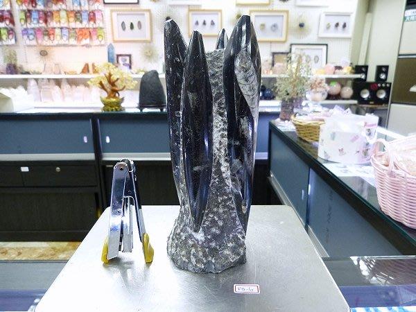☆寶峻鹽燈☆特價出清~鸚鵡螺化石 直角石 Orthoceras 奧陶紀 古生物動物化石 特色禮品 觀賞藝品家飾 FO-6
