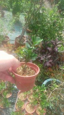 日本的小葉梔子花會生果實單瓣花小苗移盆子賣99元買3盆以上免運費超商自取