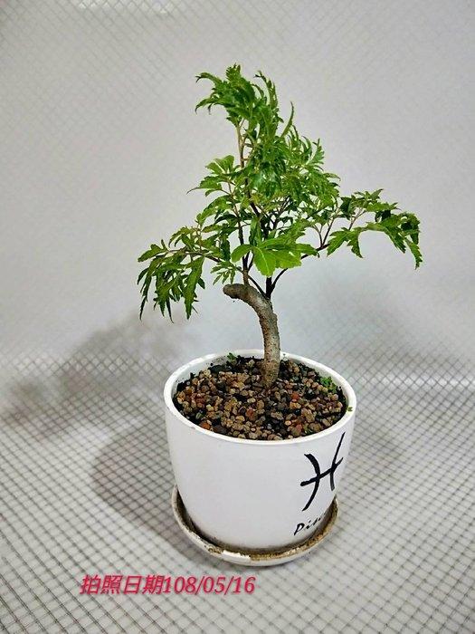易園園藝- 羽葉福祿桐樹F50(福貴樹/風水樹)室內盆栽小品/盆景高約20公分