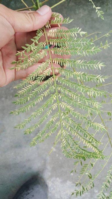 ╭*田尾玫瑰園*╯新品種樹種(斑葉藍花楹)高1尺2000元