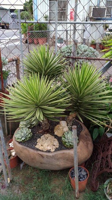 Yucca黃邊覆輪(絲蘭)