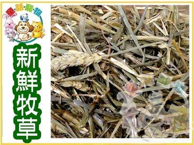 ☆童話寵物☆ 兔子天然牧草 燕麥草  1000g  特價80元