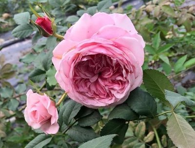 快樂媽媽。悠遊山城(創始店)5-6吋盆玫瑰~特價180~任選3盆420
