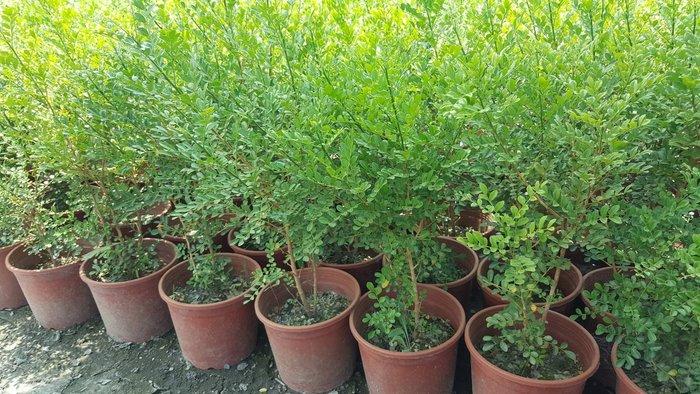 ╭*田尾玫瑰園*╯ 綠籬植物-(細葉七里香)5吋盆高1尺100元