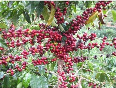 新鮮咖啡去皮機 咖啡螁殼機 咖啡脫皮機