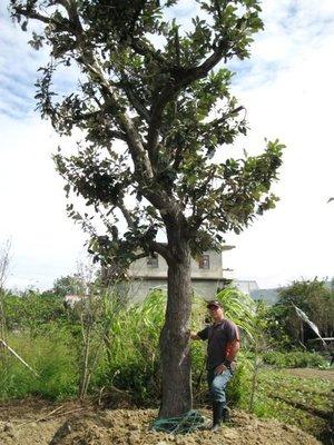 (青山園藝) 原生種  銀葉板根  米俓約30~35cm高度約6~7米 樟樹櫸木肖楠紅檜油杉鳳凰木九芎