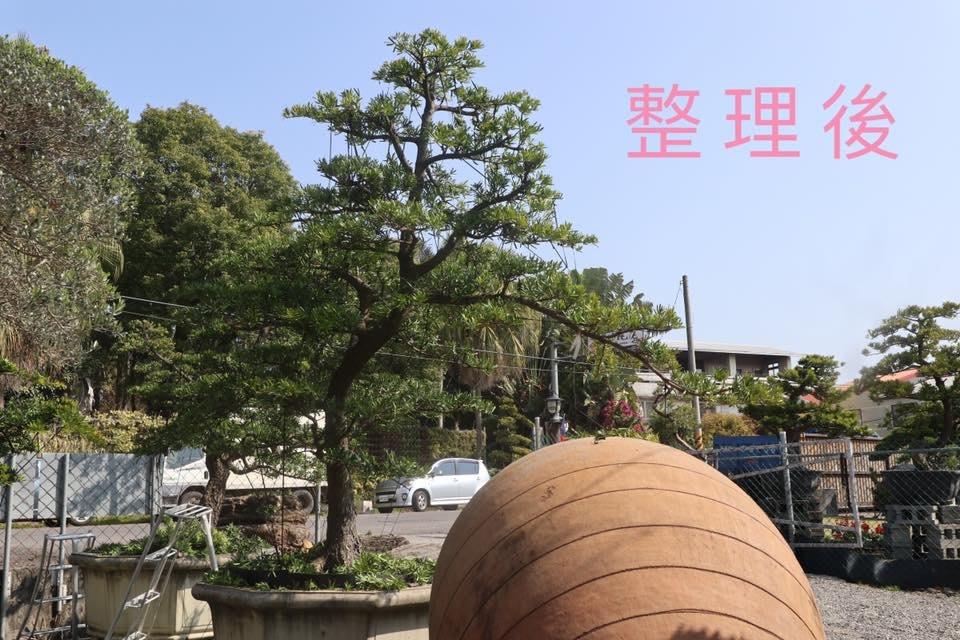 【海灣園藝】蘭嶼羅漢松(整型完成),自產自銷型式多樣 歡迎現場挑選
