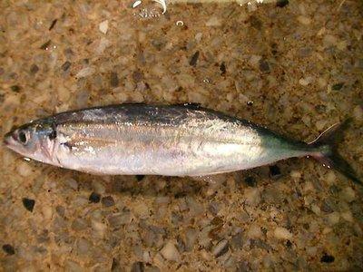 四破魚(頜圓(長身)鰺)....優質推薦