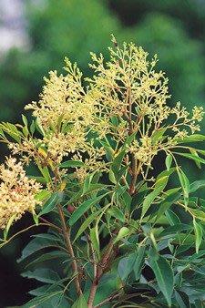 ╭*田尾玫瑰園*╯庭園景觀用樹-光臘樹(白雞油)土球米徑10cm4500元