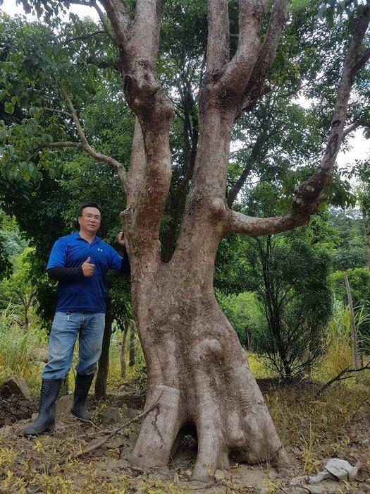 (青山園藝) 藝樹茄苳老樹頭徑約100cm 樟樹櫸木黑松真柏毛柿油杉肖楠青楓七里香桂花