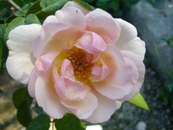 ╭*田尾玫瑰園*╯香花植物-玫瑰-( Sharifa Asma .夏莉法阿斯瑪)