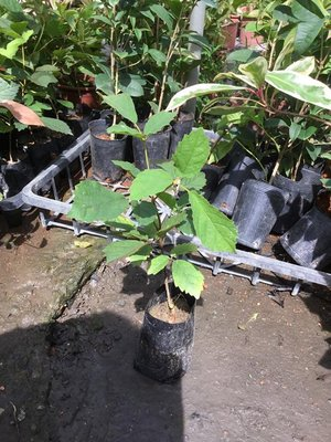 樹苗.灌木~黃金風鈴木苗~3吋/高15-25公分~花精靈植物的家