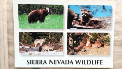 明信片  WILDLIFE : Black Bear、Racoon、Coyote Pair、Mountain Lion