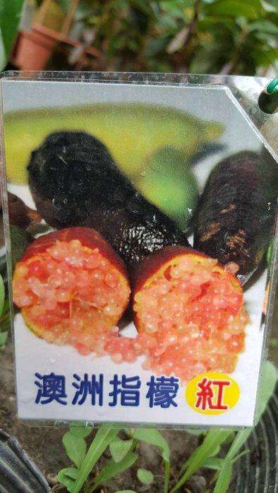 ╭*田尾玫瑰園*╯ 新品種果苗-(澳洲手指檸檬)(紅色)高30cm600元