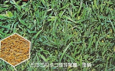 韓國草種子/500公克/歐美進口非東南亞/園藝草皮種子 - 千葉園藝有限公司