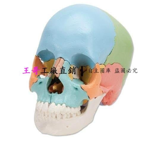 【王哥】進口著色分離頭顱骨模型;可拆22部 骷髏頭骨頭顱骨組件22組塊模型