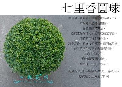 心栽花坊-細葉七里香/七里香/波波球/圓球/寬60cm/綠籬植物/圓球/造型樹/特售/售價1100特價1000