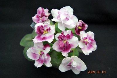 堤緣花語陶-淨化室內空氣植物-非洲紫羅蘭 Mac's Southern Springtime [經典秒殺商品]
