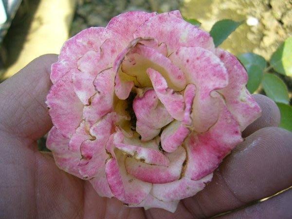 ╭*田尾玫瑰園*╯香花植物-玫瑰-(鍾愛一生)