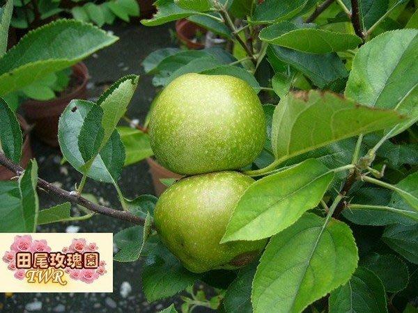 ╭*田尾玫瑰園*╯水果苗-(平地青蘋果)---盆植就會結果