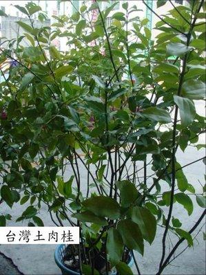 =豐穗農園=台灣土肉桂(橫氏肉桂),,高30---40公分,,(稼接苗) 300元起~
