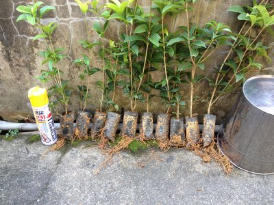 WF0006,四季桂花 貴花 花苗,2吋半 扦插軟袋,苗高25~35cm,庭園綠化綠籬 籬笆。