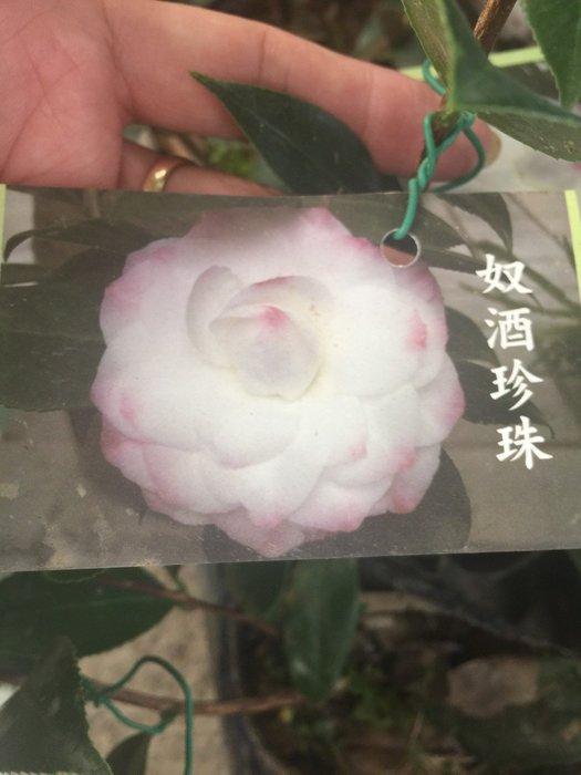 ╭*田尾玫瑰園*╯茶花--(努酒珍珠)(黑玫瑰)(夕陽紅)(紅粉佳人)(馬莉費瑟)30cm60元