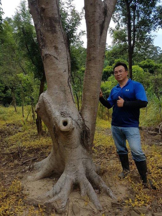 (青山園藝) 大型鳳凰木 頭俓約100cm 高度約4~6米  肖楠黑松真柏桂花羅漢松七里香