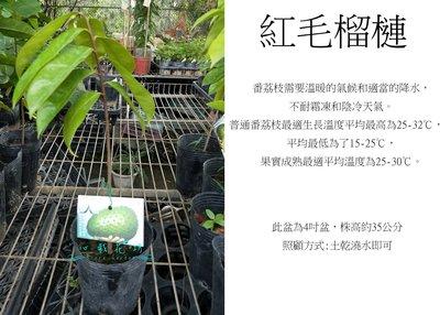 心栽花坊-紅毛榴槤/4吋/刺果番荔枝/水果苗/售價250特價200