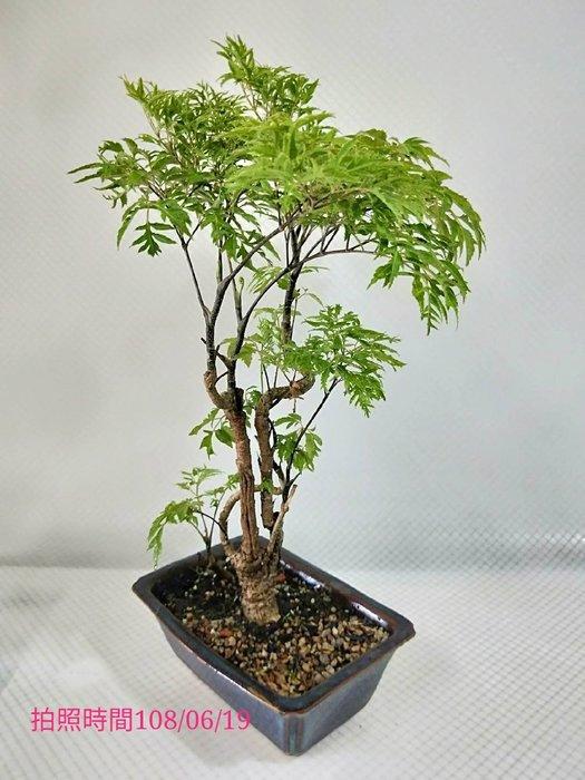 易園園藝- 羽葉福祿桐樹F51(福貴樹/風水樹)室內盆栽小品/盆景高約35公分
