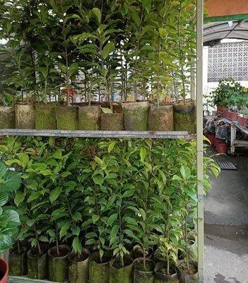 李家果苗 牛樟 實生苗 高度60-80公分 單價500元 買4棵免運費