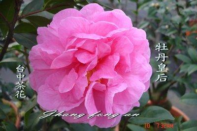 台中茶花- 牡丹皇后-(原棵茶花)-ㄅ70