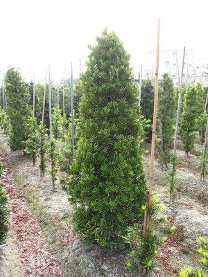 ╭*田尾玫瑰園*╯庭園用樹-(羅漢松)高2.5米(錐形)3500元/株