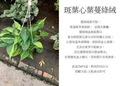 心栽花坊-斑葉心葉蔓綠絨/心葉蔓綠絨/6吋/綠化植物/室內植物/觀葉植物/售價200特價170