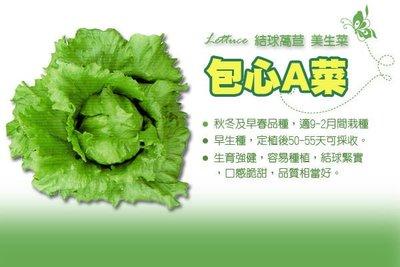 【振華育苗】包心萵苣種子 Lettuce 包心A菜 結球萵苣 美生菜 包心妹