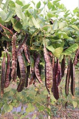 【蔬菜種子】紫蝶紫翼豆~~開花後約10天可採收。