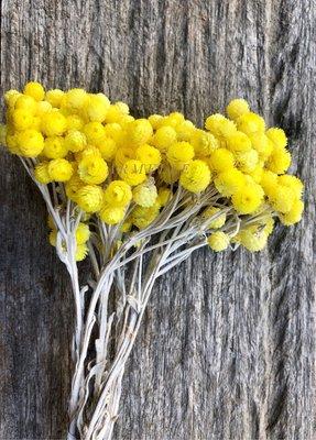 《Are獨立之家》義大利蠟菊 日本大地農園永生花 花束配件 花圈配件 拍攝道具 居家裝飾 台中市