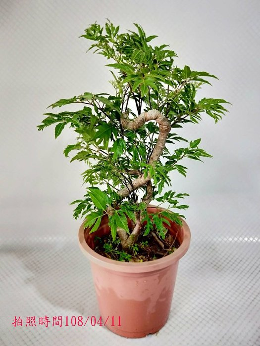 易園園藝- 羽葉福祿桐樹F11(福貴樹/風水樹)室內盆栽小品/盆景高約40公分