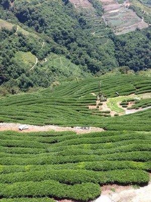 【茶院子】茶農自產自銷【極品阿里山烏龍茶】濃烈山氣,茶湯柔順