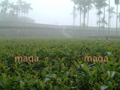 Maga茶葉   茶農自營  特選冬片四季春   一斤盤價400元 ~!歡迎批發