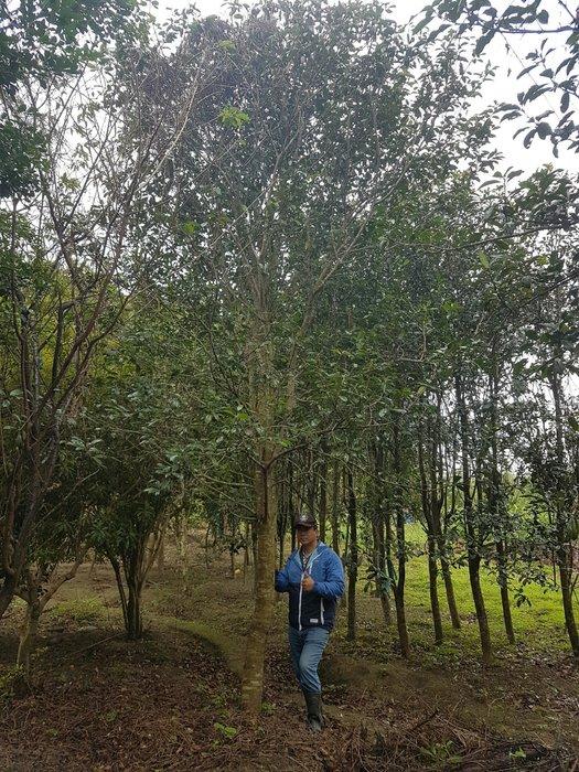 (青山園藝)  紅芽石楠 米俓5~10cm  高度4~5米