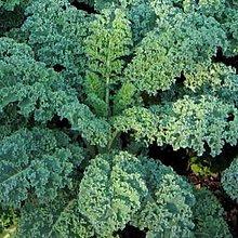 綠捲葉羽衣甘藍種子300粒50元