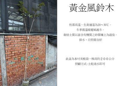 心栽花坊-黃金風鈴木/8吋盆/高約200公分/觀花植物/景觀樹/庭園樹/大型樹/售價500特價450