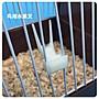 牡丹畫眉鳥用品 鳥喂食器 飲水器水果叉,鳥食杯鳥用具(5件)