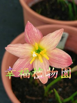 [幸福植物園]風雨蘭  Zephyranthes Red pomegranate