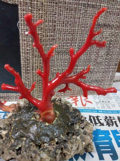~~『臻愛.珊瑚玉石小鋪』~天然阿卡珊瑚樹~~款2