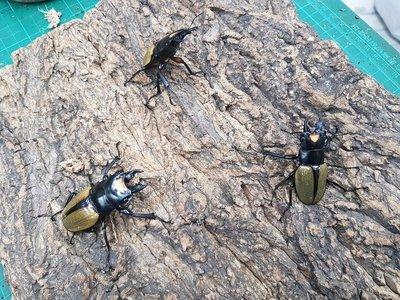 拉可達爾鬼豔鍬形蟲 50~59mm 單公成蟲