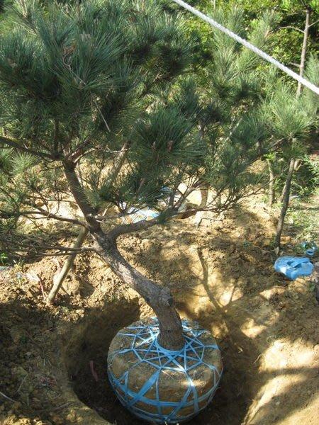 (青山園藝)黑松.己塑型.高度2~2.5米.頭徑10~15cm.此批珍藏數量只有30棵.真柏龍柏桂花油杉
