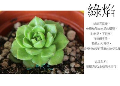 心栽花坊-綠焰/2-3吋/多肉植物/小品/售價40特價35